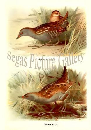 Ballon's Crake & Little Crake